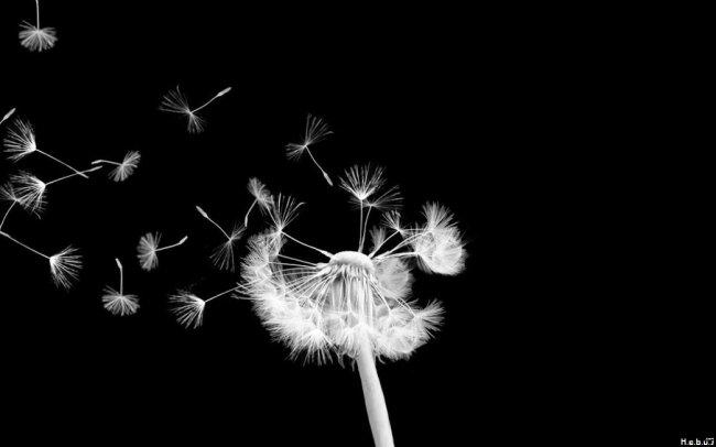 graines-pissenlit-noir-blanc